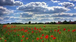 field-of-poppies-50588_640.jpg
